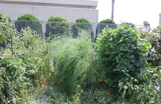 露地栽培しているアスパラガスの写真その2